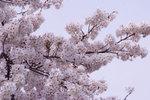 20070401sakura3