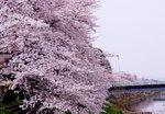 20070401sakura4