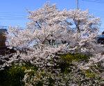 20090406sakura5